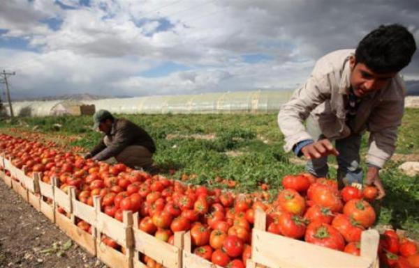 البصرة : تجدد المطالبة بإغلاق منافذ كوردستان أمام الطماطم المستوردة