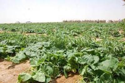"""وسط  أزمة المياه.. الري عبر """"التنقيط"""" ينتج 40 ألف طن من الرقي والبطيخ والخيار في الزبير .."""