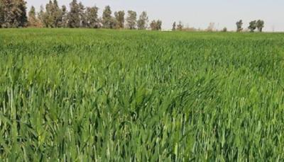 زراعة المثنى تعلن تأثر مساحات واسعة بسبب موجة البرد