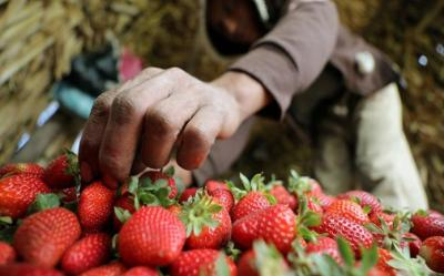 الفراولة تساعد على منع الإصابة بسرطان المريء