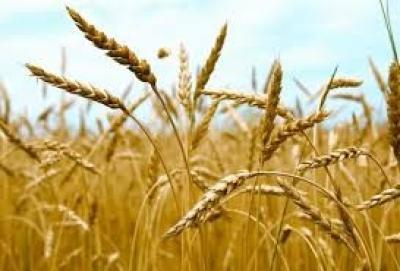 الزراعة : توفير اكثر من 80% من بذور الحنطة هذا العام